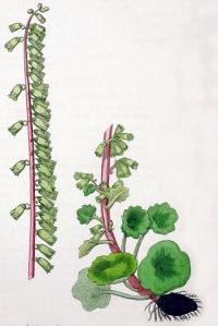 Ombilic des rochers (Umbilicus rupestris)