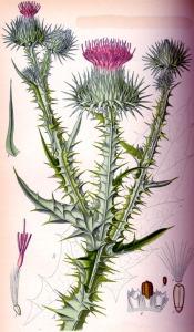 Onoporde Acanthe (Onopordum Acanthium)