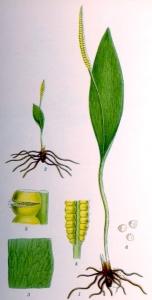 Ophioglosse commun - (Ophioglossum vulgatum)