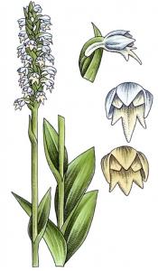 Orchis blanc - (Pseudorchis albida)