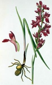 Orchis des marais (Orchis palustris Jacq.)