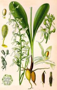 Orchis des montagnes (Platanthera chlorantha