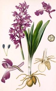 Orchis mâle (Orchis mascula L.)
