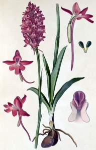 Orchis pyramidal (Anacampis pyramidalis L.)