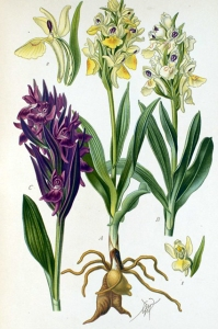 Orchis Sureau (Dactylorhiza sambucina L.)