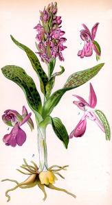 Orchis tacheté (Dactylorhiza maculata L.)