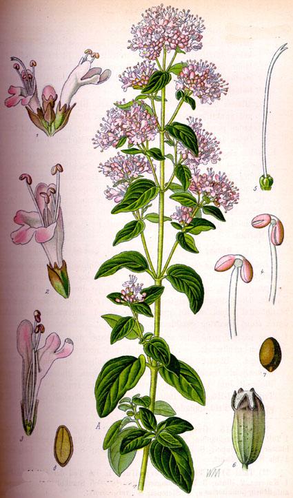 origan origanum vulgare oregano phytotheque herbier herbarium. Black Bedroom Furniture Sets. Home Design Ideas