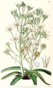Ornithogale des Pyrénées (Ornithogalum pyrenaicum)
