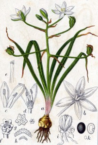 Ornithogale en ombelle (Ornithogalum umbellatum L.)