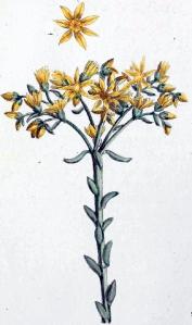 Orpin réfléchi (Sedum reflexum L.)