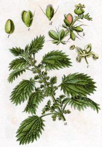 Ortie (Urtica urens)