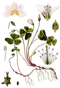 Oxalis Petite Oseille (Oxalis acetosella L.)
