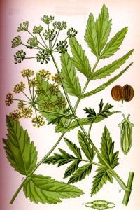 Panais Sauvage (Pastinaca sativa L.)