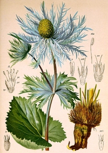 Panicaut des Alpes (Eryngium alpinum)