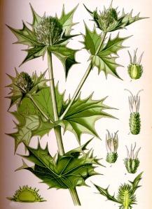 Panicaut (Eryngium maritinum L.)