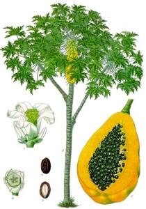 Papaye (papayer) (Carica papaya)