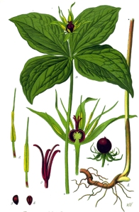 Parisette (Paris quadrifolia)