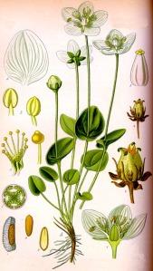 Parnassie des marais (Parnassia palustris L.)