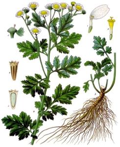 Partenelle (Tanacetum parthenium)