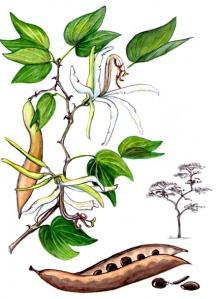 Pata de Vaca (Bauhinia forficata)