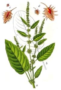 Patience à feuilles obtuses (Rumex obtusifolius)