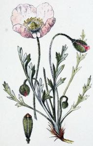 Pavot des Alpes (Papaver alpinum)