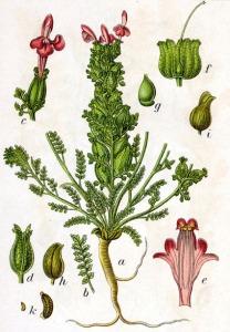 Pédiculaire des bois (Pedicularia sylvatica L.)