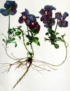 Pensée des Alpes (Viola calcarata L.)
