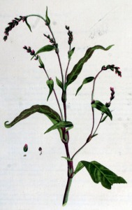 Persicaire (Polygonum hydropiper L.)