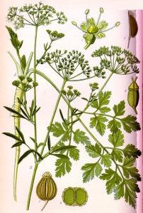Persil (Petroselinum crispum)