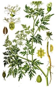 Petite ciguë (Aethusa cynapium L.)