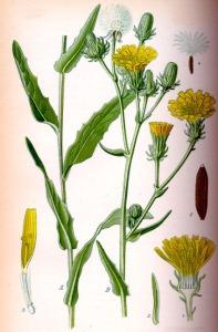 Picride fausse Vipérine (Picris echioides L.)