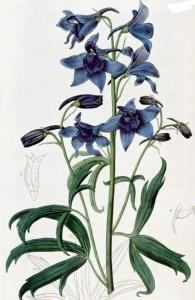 Pied d'alouette (Delphinium consolida L.)