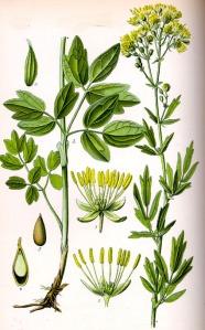 Pigamon jaune (Thalictrum flavum L.)