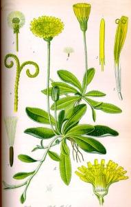 Piloselle (Hieracium pilosella)