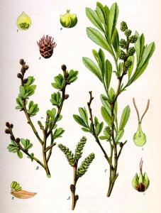 Piment royal (Myrica gale)