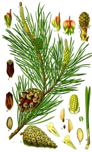 Pin Bourgeon (Pinus sylvestris)