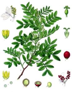 Pistachier lentisque (Pistacia lentiscus Linné)