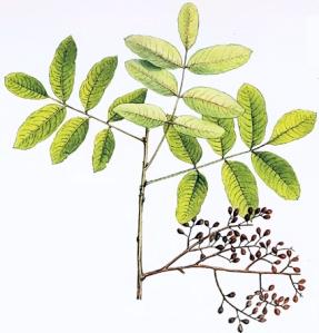 Pistachier terebinthe (Pistacia terebinthus L.)