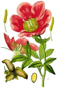 Pivoine sauvage (Paeonia officinalis)
