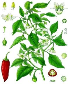 Poivre de Cayenne (Capsicum frutescens)