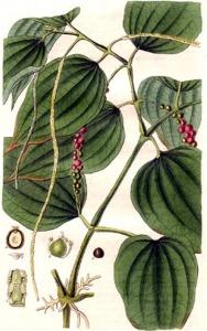 Poivre noir (Piper nigrum)
