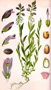 Polygala commun (Polygala vulgaris L.)