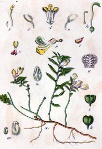 Polygale faux-buis (Polygala chamaebuxus)