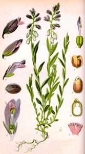 Polygale (Polygala myrtifolia)