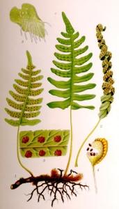 Polypode (Polypodium vulgare)