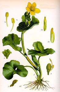 Populage des marais (Caltha palustris L.)