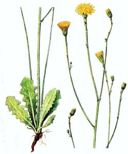 Porcelle enracinée (Hypochaeris radicata L.)