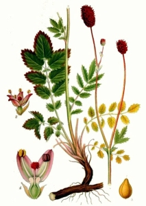 Primprenelle (Sanguisorba officinalis)