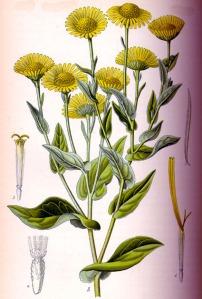 Pulicaire dysentérique (Pulicaria dysenterica)